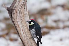 Acorn Woodpecker (Laura Erickson) Tags: picidae cochisecounty piciformes birds arizona acornwoodpecker species places cavecreekcanyon melanerpesformicivorus
