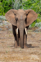 African Elephant #explored (fascinationwildlife) Tags: animal mammal wild wildlife nature natur national park south africa südafrika african afrika elephant elefant addo eastern cape bull tiere