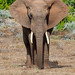 African Elephant #explored (fascinationwildlife) Tags: animal mammal wild wildlife nature natur national park south africa südafrika african afrika elephant elefant addo eastern cape bull tiere