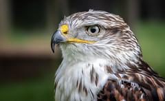 Buzzard (Oudje1955) Tags: nature natuur naturepics naturephotograph natural birds bird wildlife feather portrait prey sharplook schalk canon canon40d 70200mm f4 l is