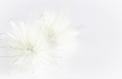 Who knew fluff had tendrils? (judi may) Tags: macromondays macro macromonday {picktwo fuzzy plant fuzzyplant clematis seedhead clematisseedhead seeds highkey white whiteonwhite negativespace barelythere canon5d bokeh depthoffield dof details soft softness
