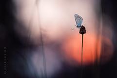 Bläuling (Markus1224) Tags: schmetterling butterfly bläuling sunset nikon d750 lycaenidae blue makro macro badenwürttemberg germany bokeh colours minimalism
