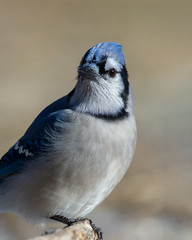 Blue Jay_45455-.jpg (Mully410 * Images) Tags: bird birds birding backyard birder birdwatching