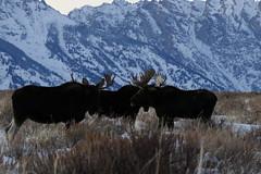 Bull Moose With Tetons In The Background (fethers1) Tags: jacksonholewyoming wyoming wyomingwildlife winter snow moose bullmoose