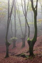 Zuhaitzen-dantza (iurgi.) Tags: bosque trees arboles niebla forest autumn naturaleza spain paisaje mountain españa otoño foggy iurgi inda