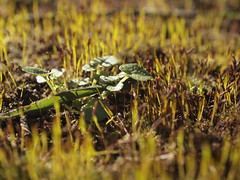 Little Plants (cycle.nut66) Tags: close up winter light low sun directional moss leaves green bokeh olpympus epl1 evolt micro four thirds mzuiko