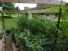 P1090103 (LPompey) Tags: garden strawbale strawbalegarden gardening peppers tomatoes
