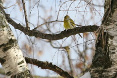 Venturone alpino (carduelis citrinella) (Paolo Bertini) Tags: venturone alpino carduelis citrinella citril finch birding birds birdwatching trento vallelaghi