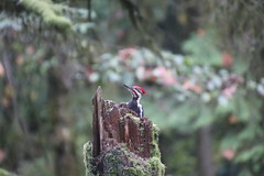 Pileated woodpecker at the Audubon Society of Portland Wildlife Sanctuary Trails (Portland, Oregon - November 2nd, 2018) (cseeman) Tags: audubonsocietyofportland audubonsociety audubonsocietyofportlandtrails audubonsocietyofportlandsanctuarytrails arboretum publicgardens plants trees portland2018 pacificnorthwest conifers trails naturetrails wildlifesanctuaries portland oregon birds woodpeckers pileatedwoodpeckers