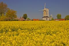 Il mare giallo / The yellow sea (Saxtead, Suffolk, United Kingdom)(Explore!!!) (AndreaPucci) Tags: saxtead green post windmill suffolk woodbridge uk england andreapucci explore