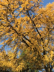 Autumn colours. (Bennydorm) Tags: atono autunno herbst beauty pretty nature iphone6s iphone inghilterra inglaterra angleterre europe uk gb britain england cumbria furness ulverston 2018 novembre november tree colours automne autumn