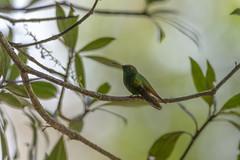Coppery-headed Emerald (Mario Arana G) Tags: 7d ave bird cr canon canon7d copperyheadedemerald costarica florayfauna hummingbird marioarana nature photography puntarenas wildlife