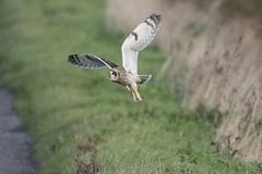 Short Eared Owl (Ade Ludlam) Tags: short eared owl raptor bird prey nature wildlife somerset nikon d7200 sigma sigma150600