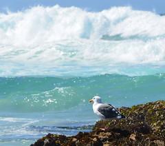 DSC_0891 (afagen) Tags: california pacificgrove montereypeninsula asilomar beach pacificocean ocean asilomarstatemarinereserve bird