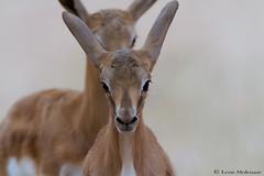 Springbok lambs (leendert3) Tags: leonmolenaar southafrica kgalagaditransfrontierpark wildlife nature mammals springbok ngc npc