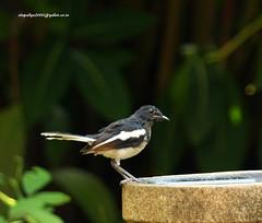IMG_4997 Oriental Magpie Robin (Copsychus saularis) (vlupadya) Tags: greatnature animal bird aves fauna indianbirds oriental magpie robin copsychus kundapura karnataka