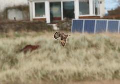IMG_9937 (monika.carrie) Tags: monikacarrie wildlife seo shortearedowl forvie scotland owl