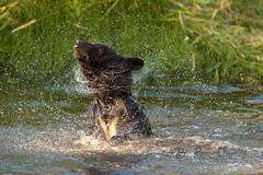 Twist & Shout (Beve Brown-Clark) Tags: bear blackbear yearling nature predator wildlife ©bevebrownclark