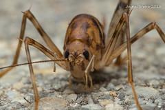 Cave Cricket 2-1 (strjustin) Tags: cavecricket cricket insect bug macro