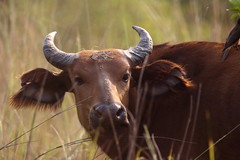 African Buffalo (light_into_the_dark) Tags: pendjari national park benin west africa wildlife safari buffalo büffel