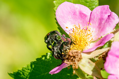 2017 Japanese Beetles Mating (Popilla japonica) 5 (DrLensCap) Tags: japanese beetles mating popilla japonica weber spur trail labagh woods chicago illinois abandoned union pacific railroad right way il bug insect beetle rails to trails cook county forest preserve district preserves robert kramer