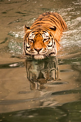 Tiger Swimming 3-0 F LR 9-16-18 J177 (sunspotimages) Tags: tiger tigers nature wildlife zoo zoos nationalzoo fonz fonz2018 washingtondczoo