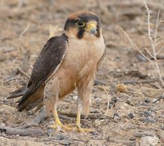 Lanner Falcon (Falco biarmicus) after a foot bath ... (berniedup) Tags: nossob kgalagaditransfrontierpark lannerfalcon falcobiarmicus falcon taxonomy:binomial=falcobiarmicus rooiputs kgalagadi