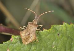 Rhombic Leatherbug - Syromastus rhombeus (Prank F) Tags: wildlife nature insect macro closeup bug rspb thelodge sandy bedfordshireuk leatherbug syromastusrhombeus