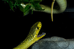 To bite, or not to bite... (fenicephoto) Tags: greenmamba snake giftschlange grünemamba mambavert serpentvenimeux