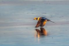 Illuminated (Daniel Q Huang) Tags: birds waterfowl duck lake sunrise flight winter reflection sunlight