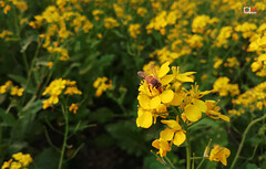 Honey Bee Collecting Pollen on Yellow Mustard Flower. (R A J U A L F A J Photography) Tags: honey bee collecting pollen yellow mustard flower agricultural animal apiculture background bangladesh beehive beekeeper beekeeping beeswax business busy collector colony comb day dhaka farm field flying frame gold golden green harvesting hexagon hive honeybee insect macro man nature organic shape sweet vegetables wax wild winter working samsung smg615f satkhira india kolkata nepal wallflowers plants flickrunitedaward