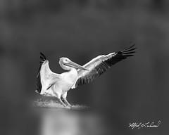 American White Pelican_27A3052 (Alfred J. Lockwood Photography) Tags: alfredjlockwood nature wildlife bird flight landing americanwhitepelican monochrome bw water bokeh morning autumn whiterocklake dallas texas