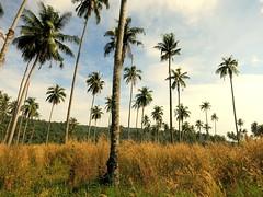 IMG_3260 (craigharrisnelson) Tags: koh kut kood island trat thailand palm trees coconuts