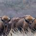Wisente stehen auf Wiese und blicken in die Kamera auf Bison-Wanderweg in den Niederlanden