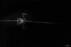 Solitude (j_lebloch) Tags: animal animalphoto animalpic canard duck wildlife wildlifephotographer wildanimal wildlifephoto wildlifephotography nature naturephotography naturephoto nikon nikonfrance naturepic tamron 600mm