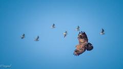 Birds of a feather (mejud) Tags: bird buzzard gulls blue sky overhead wildbird birdofprey raptor olympuse microfourthirdscameras micro43 outside
