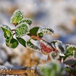 Iced Leaves thumbnail