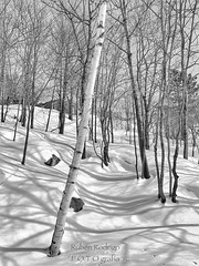 For now I am Winter (Mister Blur) Tags: monochrome monday bois foret forest mont tremblant quebec canada bare trees shadows snow winter invierno lhiver fornowiamwinter iphone xr iphoneography blackandwhite bw blancoynegro noireetblanc