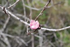 Durazno (jacquelineditté) Tags: árbol durazno peach mexico rosa flor