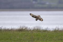 Short Eared Owl hunting (Iain fuller) Tags: hunting wildowl owl shortearedowl