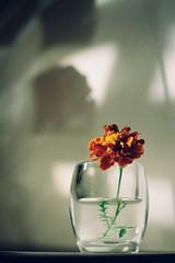 000045 (23/25) Tags: film flowersonfilm shadow 35mmfilm plantsonfilm lighthunt analogue goanalogue shootfilm kodakcolor200 필름 꽃 плёнка