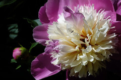 Pion (evisdotter) Tags: pion peony flower blomma bud insect macro light colors ngc