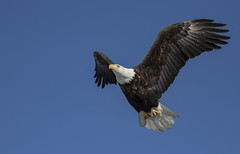 A Tasty Morsel (MiriamPoling) Tags: bald eagle fish mississippi river lock dam 14 le claire iowa2019