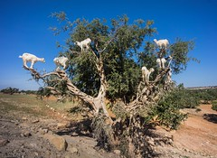 Goats in a Tree (Trey Ratcliff) Tags: morocco essaouira treyratcliff stuckincustoms stuckincustomscom travel tree goat animal sky desert leaves white climb