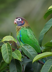 Brown-hooded Parrot (ashockenberry) Tags: ashleyhockenberryphotography animal eco reserve rica rainforest rocky costa feathers forest vacation beautiful bird beauty nature naturephotography natural national native majestic mountains green travel tourism tropical jungle parrot tree habitat