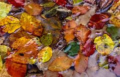 Herbstlaub im Wasser - autumn leaves under water (Mimolalen) Tags: herbst herbstlaub leaves autumn fall autumncolors autumncolours herbstfarben pfütze coloursofnature