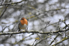 Robin at Wigan Flashes. (stevencarruthers93) Tags: wigan wiganflashes nature wildlife autumnwatch greenheart photography springwatch naturephotography wildlifephotography