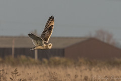Short Eared Owl-9816 (WendyCoops224) Tags: 100400mml 80d fens canon eos ©wendycooper short eared owl asio flammeus