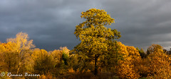 simply trees (RCB4J) Tags: guvs garscubeestate rcb4j ronniebarron scotland sonyslta77v sonydt18250mmf3563 universityofglasgow art photography golden trees oak warm sky colour rich contrast landscape naturethroughthelens