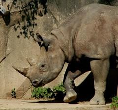Rhino 1 (Emily K P) Tags: milwaukeecountyzoo zoo animal wildlife blackrhinoceros rhinoceros rhino grey gray tan texture monotone